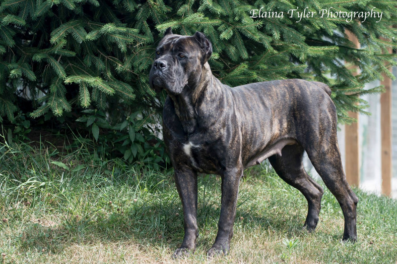 Adults Cane Corso Dogs