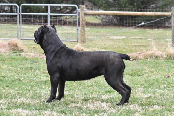 Female-Cane-Corso-SMOOCH