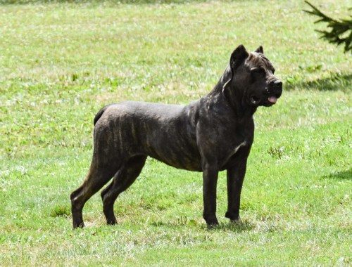 "Serafina's None of Your Biscuits – ""Biscuit"" - Female Cane corso"